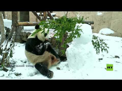 شاهد دب باندا يهاجم رجلًا ثلجيًا في حديقة الحيوان بموسكو