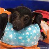 شاهد صغار طيور الخفاش في أستراليا يتيمة تحصل على فرصة ثانية