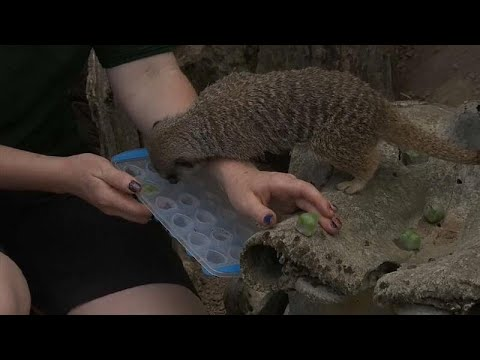 شاهد إطعام حيوان السرقاط المثلجات لمقاومة موجة الحر الشديد في حديقة حيوانات لندن
