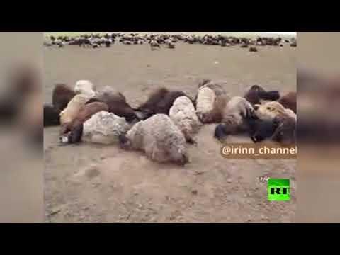 شاهد نفوق ألف رأس ماشية في إيران