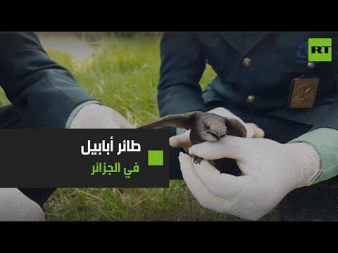 شاهد العثور على طائر أبابيل في مدينة الشلف الجزائرية