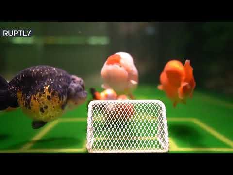 صيني يدرب أسماكه الذهبية على لعب كرة القدم بطريقة مبتكرة