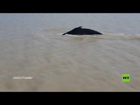 شاهد حوت أحدب يعود إلى البحر من نهر يعج بالتماسيح في أستراليا
