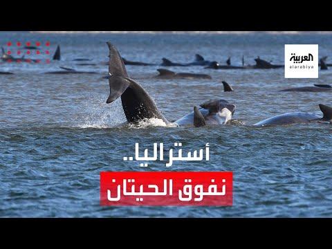 جنوح الحيتان يقلق أستراليا